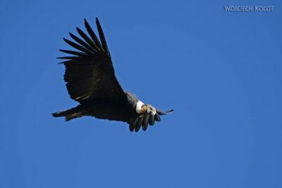 PBg045-Kenion Colca - kondor