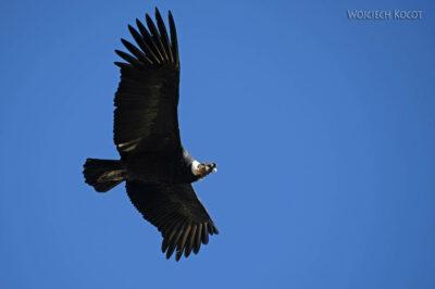 PBg046-Kenion Colca - kondor