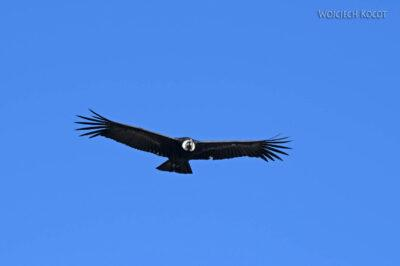 PBg057-Kenion Colca - kondor