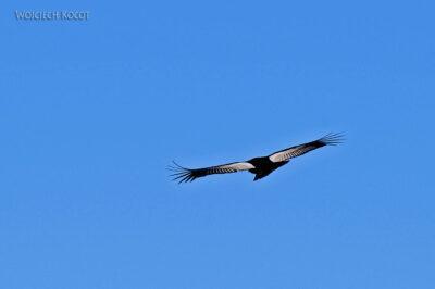 PBg059-Kenion Colca - kondor