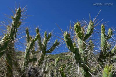 PBg090-Kaktusy przy Kenionie Colca