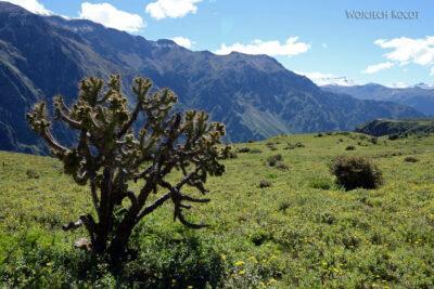 PBg102-Kaktusy przy Kenionie Colca