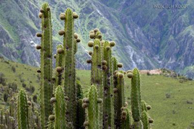 PBg143-Kaktusy przy Kenionie Colca