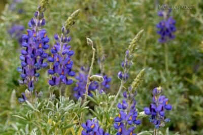 PBg144-Kwiatuchy przy Kenionie Colca