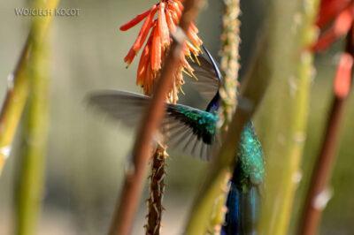 PBo108-Koliber