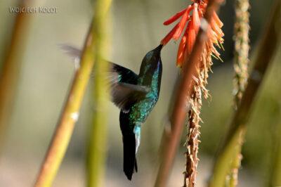PBo112-Koliber