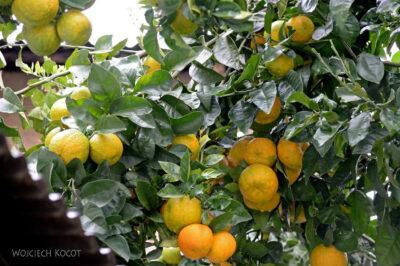PBt150-Pomarańcze