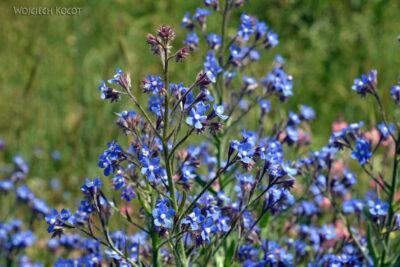 GTc147-Kwiatki polne