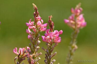 GTc156-Kwiatki polne