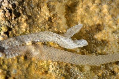 GTf033-Wylinka węża