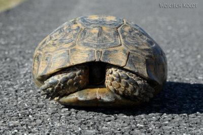 GTf054-Żółw naszosie