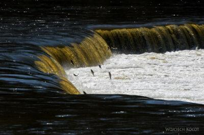 BałtJ095-Kuldiga-Wodospad Venta-ryby skaczą