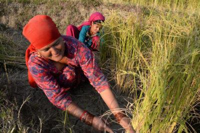 H019-Bir - uprawa ryżu