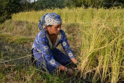 H021-Bir - uprawa ryżu