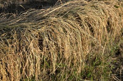 H024-Bir - uprawa ryżu