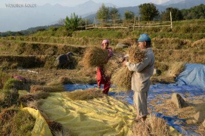 H035-Bir - uprawa ryżu
