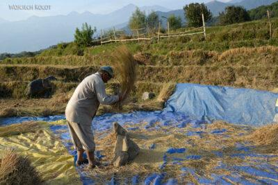 H037-Bir - uprawa ryżu
