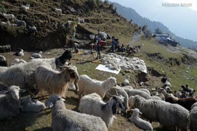 J003-Bir - strzyżenie owiec