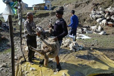 J005-Bir - strzyżenie owiec