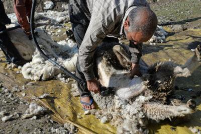 J008-Bir - strzyżenie owiec