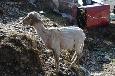 J010-Bir - strzyżenie owiec