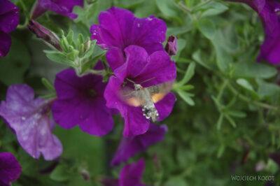 114-Fruczak gołąbek-owad jak kiliber