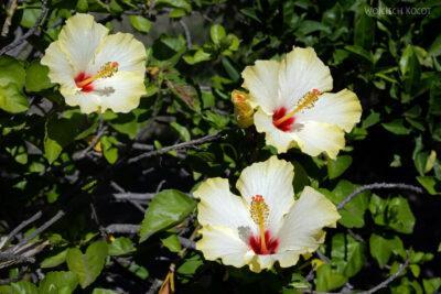 Syg067-Stromboli-hibiskus