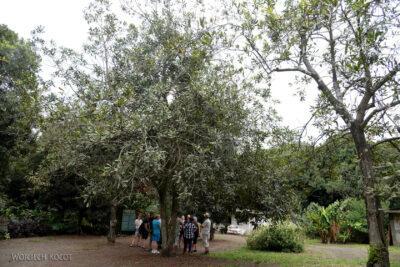 j100-Na plantacji orzechów makadamowych