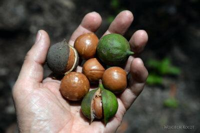 j107-Na plantacji orzechów makadamowych