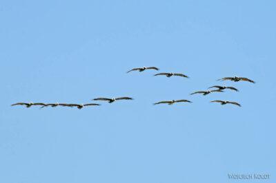 k026-Pelikany nadplażą Pacyfiku