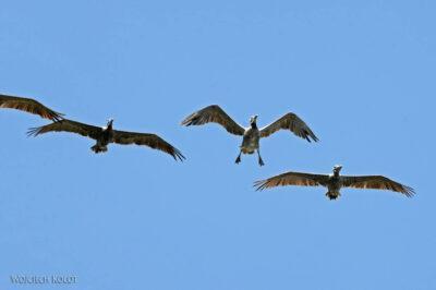 k029-Pelikany nadplażą Pacyfiku