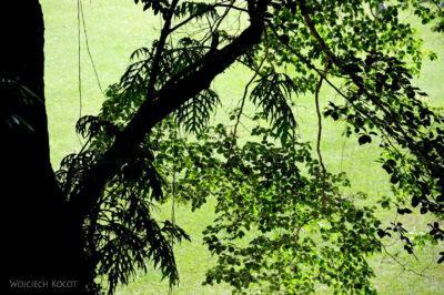 n074-Copan-wielkie drzewo