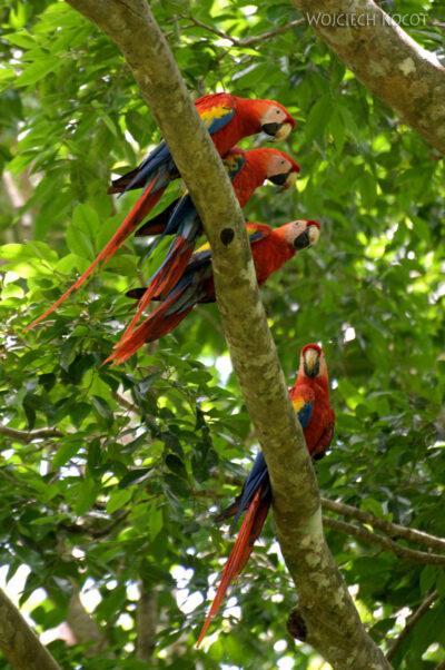 n154-Papugi