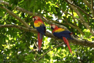 n155-Papugi
