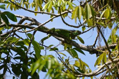 p005-Iguana zielona-legwan wHacienda Tijax