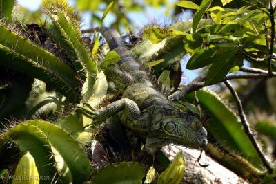 p010-Iguana zielona-legwan wHacienda Tijax