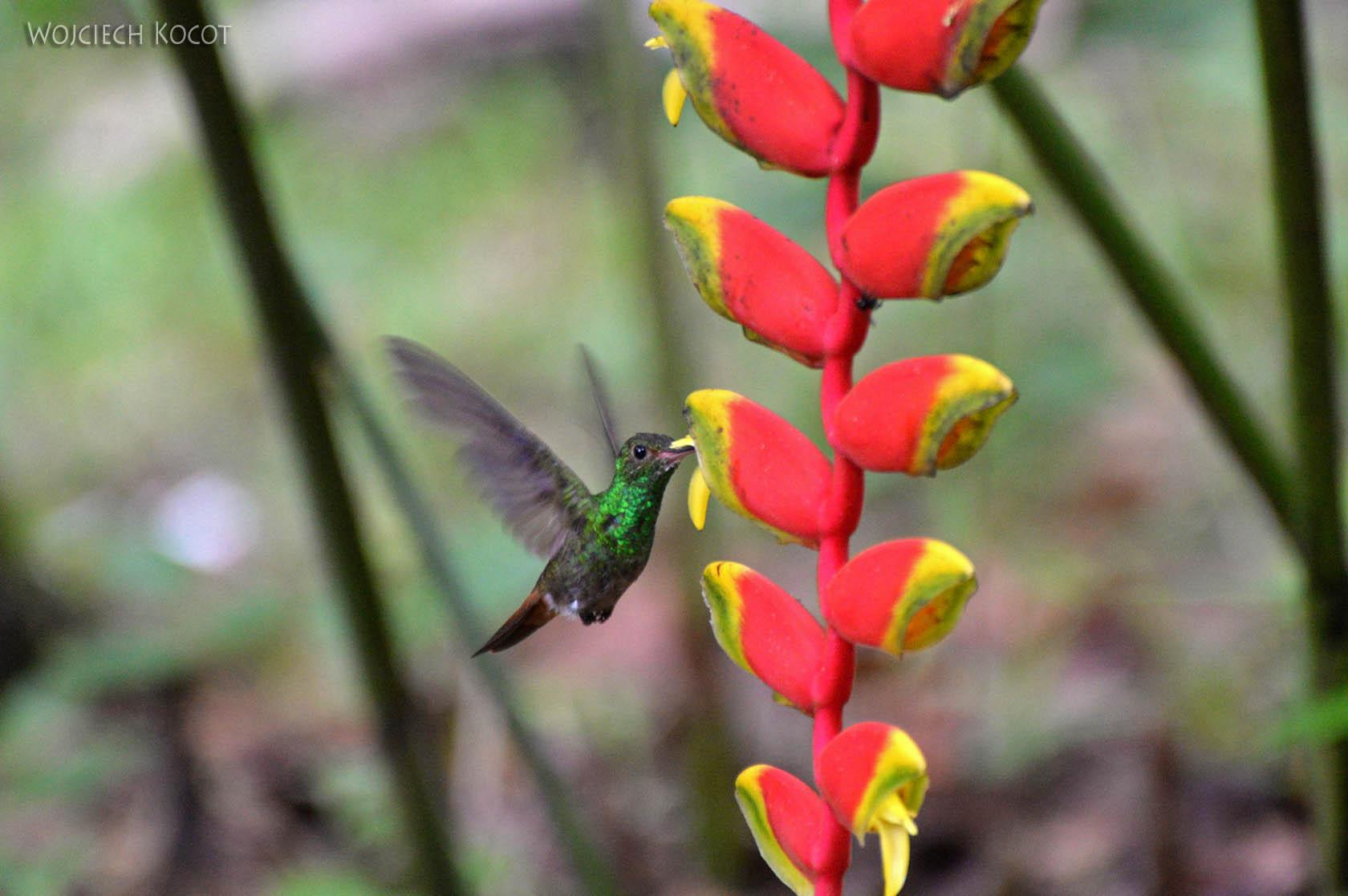 q002-Kolibry w Hacienda Tijax