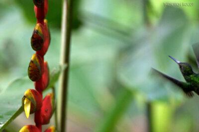 q006-Kolibry wHacienda Tijax