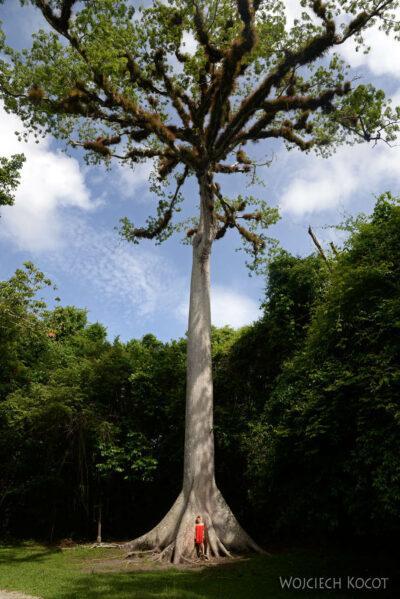 r015-Wielkie drzewo iOla