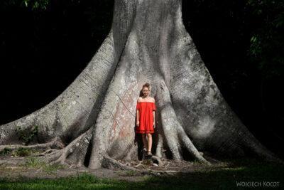 r016-Wielkie drzewo iOla