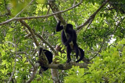 r037-Tikal-małpy