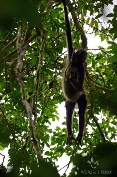 r063-Tikal-małpy