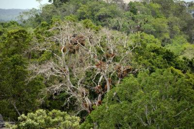 r088-Tikal-przez dzunglę