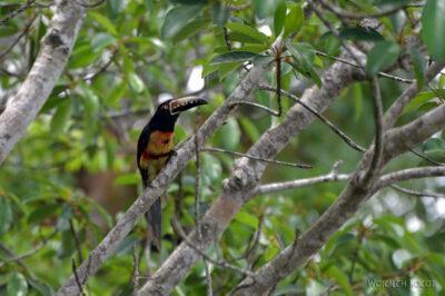 r198-Tikal-tukany