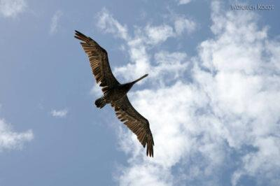 s063-Caye Caulker - pelikan