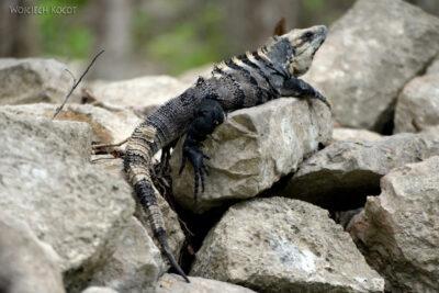 w105-Chichen Itza-iguana