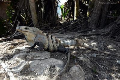 x039-Iguana