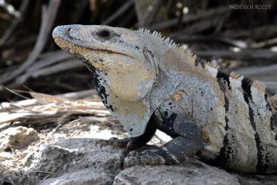 x040-Iguana