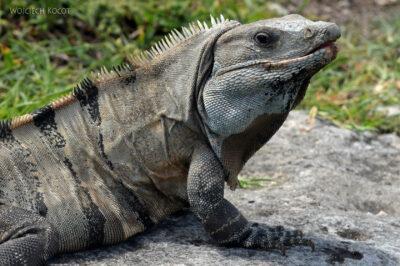 x047-Iguana