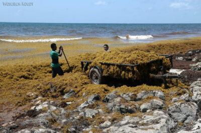 x069-Tulum - plaża pełna wodorostów